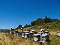 Beekeeping operation: Inspection of the hives during the production of chestnut honey in Ardèche. Verifying the hives, preventing the swarming and adding space for the storage of the honey are indispensable during the nectar gathering season./ Inspection des ruches pendant la production de miel de châtaignier en Ardèche. Vérifier les ruches, prévenir l'essaimage et ajouter de l'espace pour le stockage du miel sont indispensables pendant la saison.