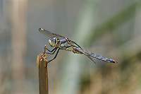 389220006 a wild male comanche skimmer libellula comanche dragonfly perches on a stick along devils river val verde county texas united states