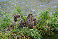 Northern River Otter (Lontra canadensis) family--mom with pups.  One pup is yawning and showing webbed front foot.  Western U.S., summer..