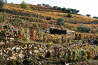Grape leaves turn color as fall temperatures take hold a Douro Valley vineyard in northern Portugal.