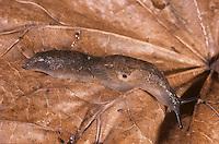 Sowerby's Slug - Milax sowerbyi