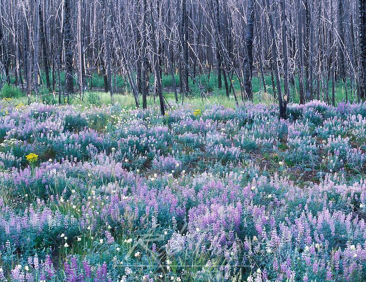 Wildflowers after a Forest Fire, Sawtooth NRA, Idaho, USA