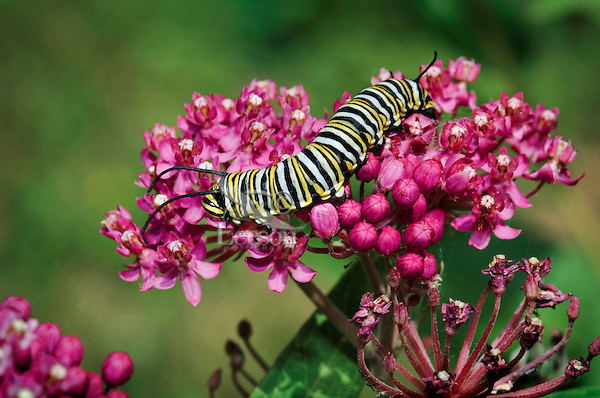 MONARCH BUTTERFLY (Danaus plexippus)..4th Instar feeding on Miilkweed (Asclepias incarnata) blossoms..Milkweed is only food monarch caterpillars will eat. .Summer. Nova Scotia, Canada.