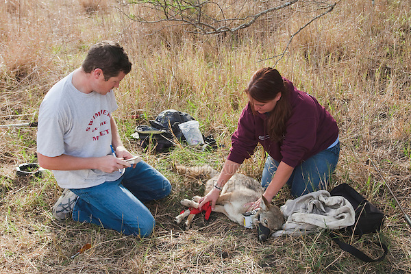 Coyote (Canis latrans), adult being tagged by biologist, Welder Wildlife Refuge, Sinton, Corpus Christi, Coastal Bend, Texas, USA