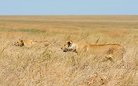 A female Lion, Panthera leo melanochaita, with one cub in Serengeti National Park, Tanzania