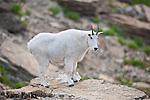 Mountain goat on rock. Glacier National Park, Montana.