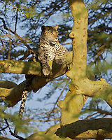 Leopard (Panthera pardus) scans the horizon from an acacia, Central Serengeti