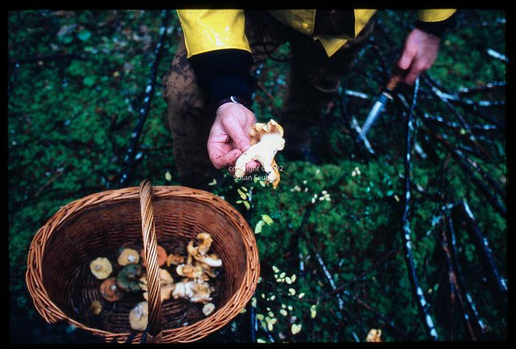 Jack Czarnecki of the Joel Palmer House in Dayton, Oregon harvesting wild chanterelle mushrooms in the woods of the Coast Range