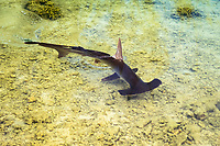 scalloped hammerhead shark, Sphyrna lewini, juvenile, Oahu, Hawaii, USA, Pacific Ocean (c)