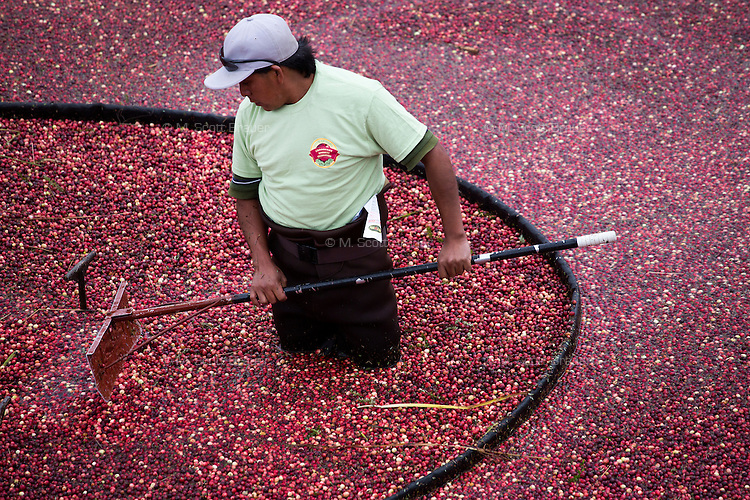 Workers gather cranberries in a bog for harvest during the AD Makepeace Company's 10th Annual Cranberry Harvest Celebration in Wareham, Massachusetts, USA. AD Makepeace is the world's largest producer of cranberries. These cranberries, wet harvested with varied colors, are destined for processing into juice, flavoring, canned goods and other processed foods.