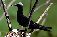 White-capped noddy with egg, on a simple platform nest, Christmas Island