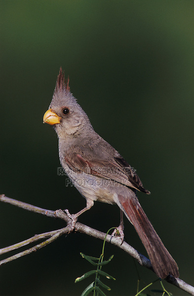 Pyrrhuloxia, Cardinalis sinuatus, female, Starr County, Rio Grande Valley, Texas, USA, May 2002