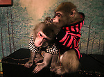 """October 22, 2016, Utsunomiya, Japan - Japanese macaques Fuku (meaning happiness) and Yume (mening dream) groom each other at an izakaya, Japanese pub """"Kayabuki"""" in Utsunomiya, 100km north of Tokyo on Saturday, October 22, 2016. The pub master Kaoru Otsuka trains Japanese macaques to help him and show their entertainment skills to attract customers including lots of foreign tourists.   (Photo by Yoshio Tsunoda/AFLO) LWX -ytd-"""