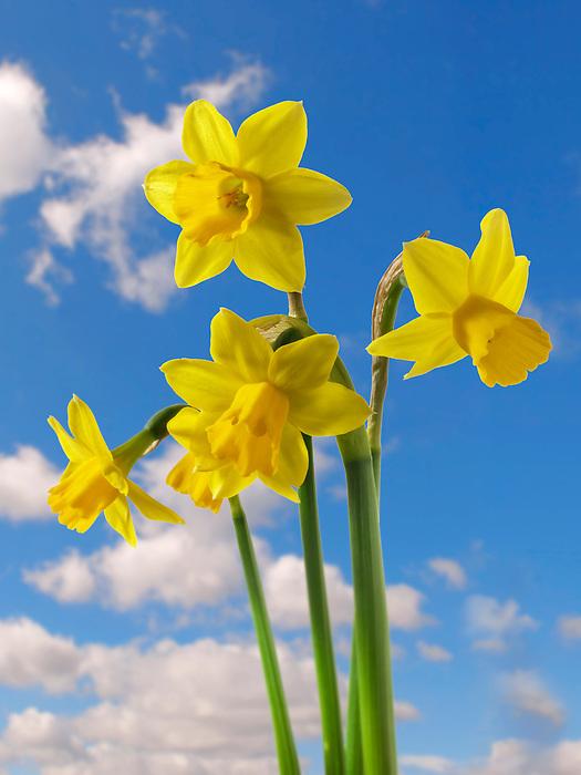 Daffodils growing