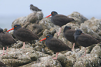 Flock of Black Oystercatchers (Haematopus bachmani) on coastal rocks. Monterey County, California. October.