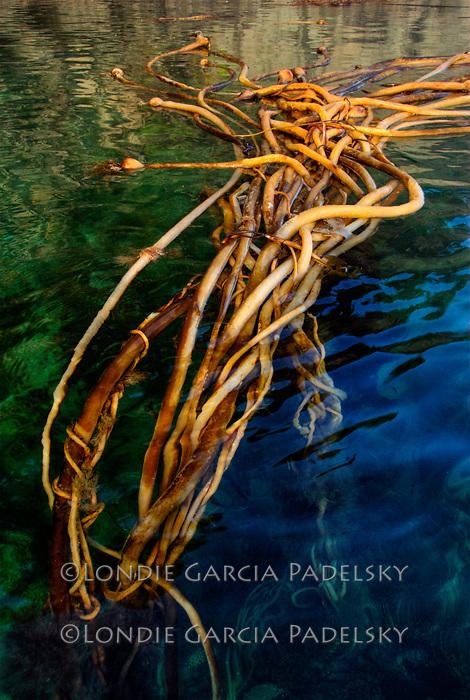 Floating seaweeds, Shuyak Island State Park, an islnad in northern part of Kodiak Archipelago, Alaska
