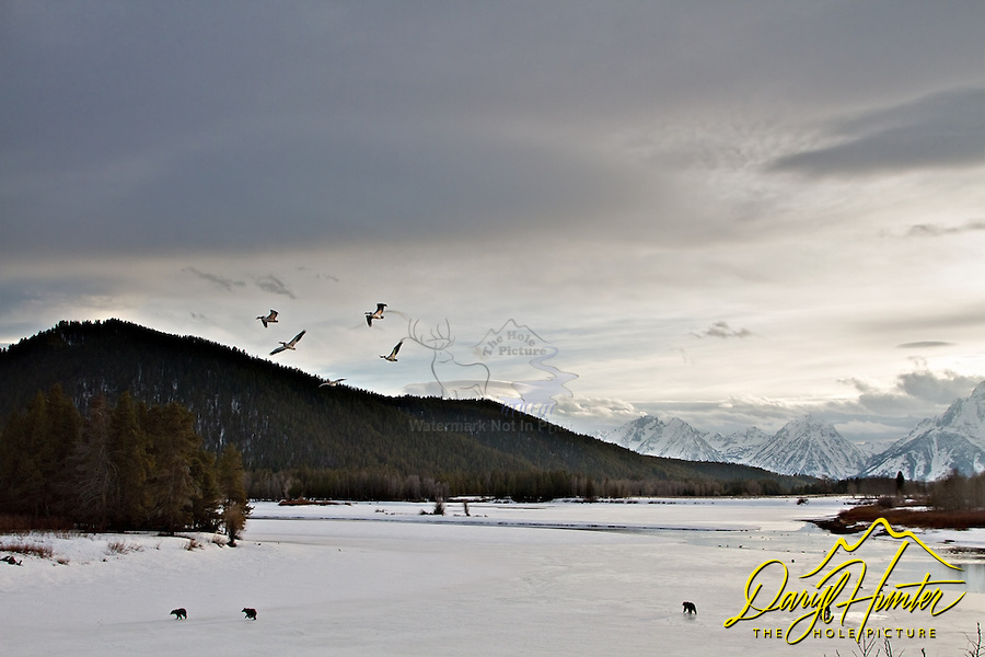Four Grizzly Bears, 610 and he cubs at Oxbow Bend inGrand Teton National Park. The Grand Tetons in the distance and pelicans flying overhead, what move could a photographer want.