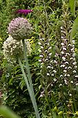 Acanthus mollis - zachte acanthus