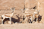 Gazelle in the Sahara desert, Morocco.