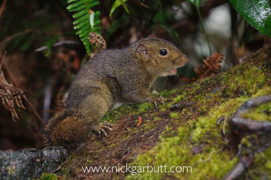 Bornean Mountain Ground Squirrel (Dremomys everetti). Montane forests (at 2200m asl), slopes of Mt Kinabalu. Kinabalu Park, Sabah, Borneo.