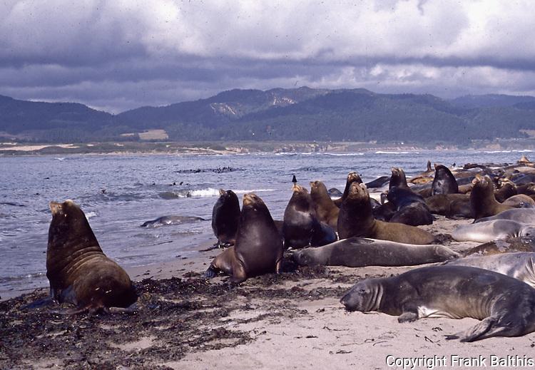 California sea lions and elephant seal on Ano Nuevo Island