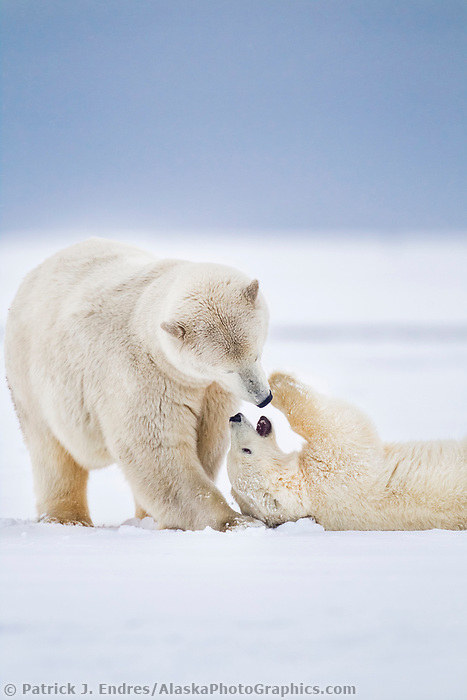 Polar bear mother and cub play affectionately on the snowy island in the Beaufort Sea, Alaska.