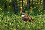 Tom turkey in northern Wisconsin.