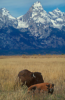 610650015 a mother bison lays near her calf on an open grassy plain with the tetons in the background in grand tetons national park wyoming