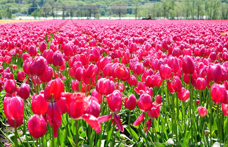 DeGoede Bulb Farm, Mossyrock, Washington, USA.