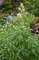 Alpenknöterich, Alpen-Knöterich, Bergknöterich, Berg-Knöterich, Alpen-Bergknöterich, Aconogonon alpinum, Polygonum alpinum, Persicaria alpina, Polygonum alpestre, alpine knotweed, alpine smartweed, wild rhubarb