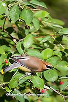 01415-03318 Cedar Waxwing (Bombycilla cedrorum) in Serviceberry (Amelanchier canadensis) bush, Marion Co. IL