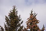 Pinecones dominate the top of one tree while the tree next to it is devoid of pinecones.