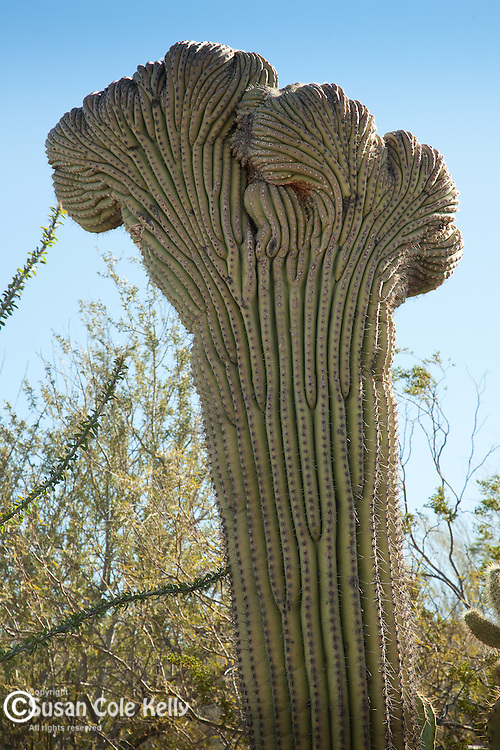 A Christate (crested) Saguaro has an unusual crest which forms when the cactus is damaged. The Arizona Sonoran Desert Museum in Tucson, AZ, USA