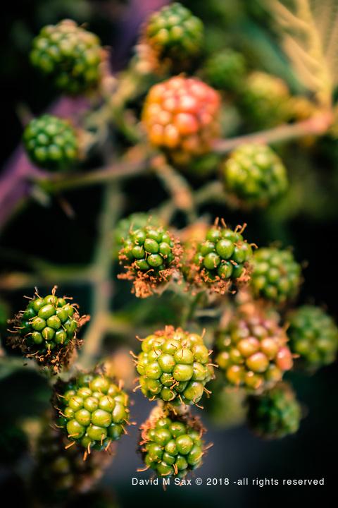8.6.17 - Black Berries...
