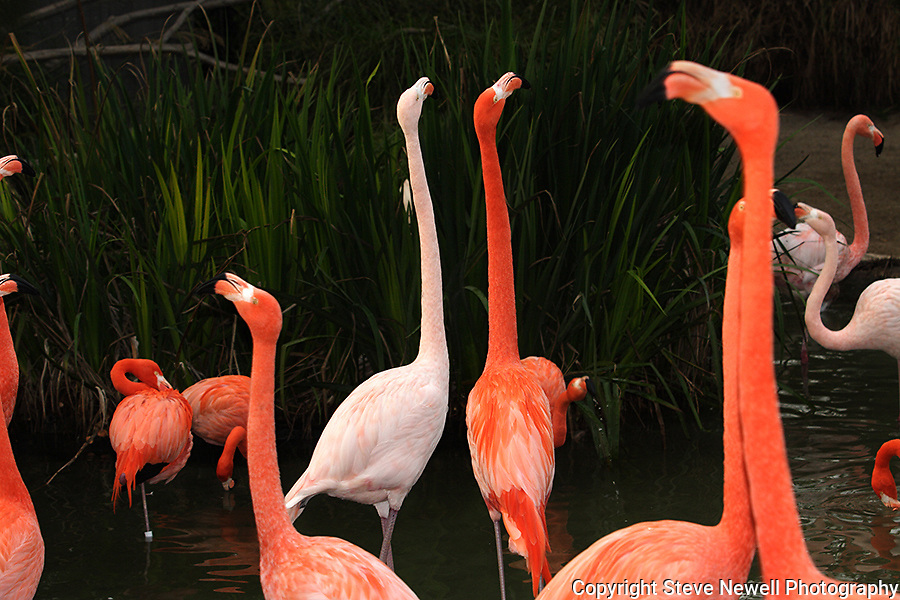 Pink Flamingos at the SanDiego Zoo.