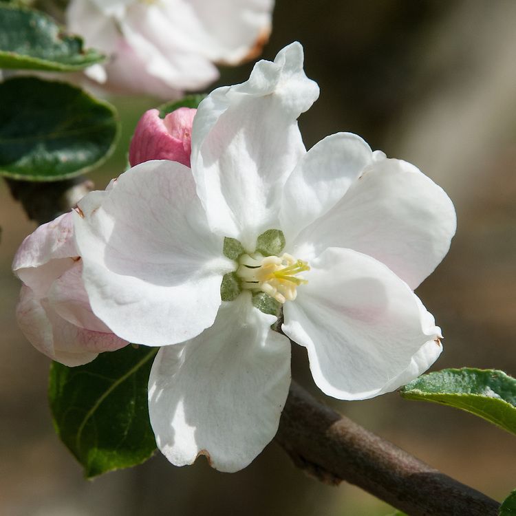 Apple 'Guldborg', early May. A Danish dessert apple dating back to the 1870s. Named after Guldborg village on Lolland Island.