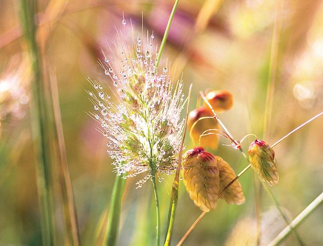 Sparkling light on dewdrops on Rattlesnake grass