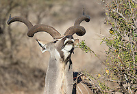 Bull kudu are famous for their large spiraling horns.