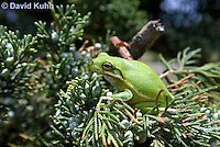 0605-0913  American Green Treefrog Climbing Tree at Outer Banks North Carolina, Hyla cinerea  © David Kuhn/Dwight Kuhn Photography