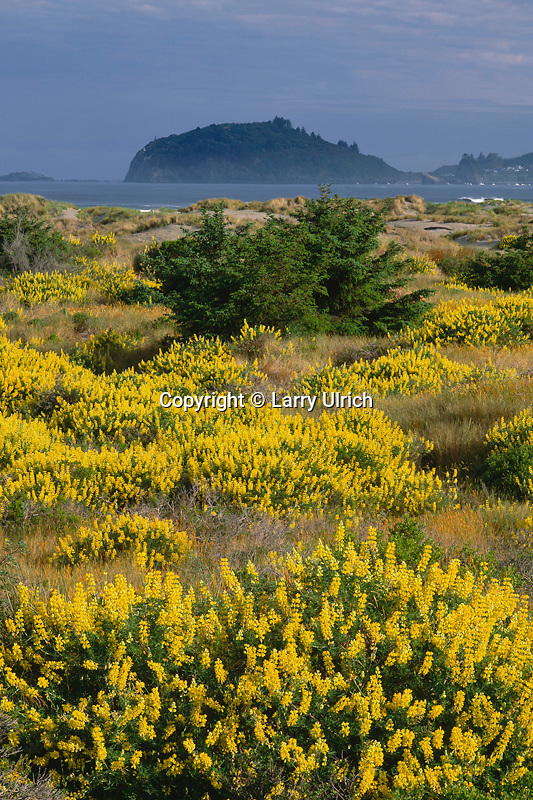Yellow bush lupine on Clam Beach<br />