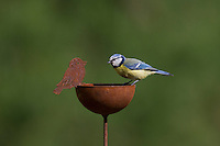 Blaumeise sitzt auf Gartendeko, Blau-Meise, Meise, Cyanistes caeruleus, Parus caeruleus, Blue tit