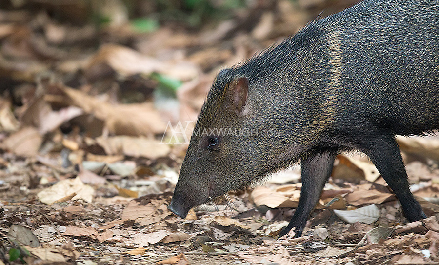 The collared peccary is the less dangerous of Costa Rica's two wild pig species.
