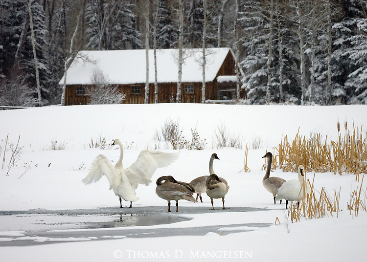 Family of trumpeter swans at a pond in a clearing in Northwest Wyoming.
