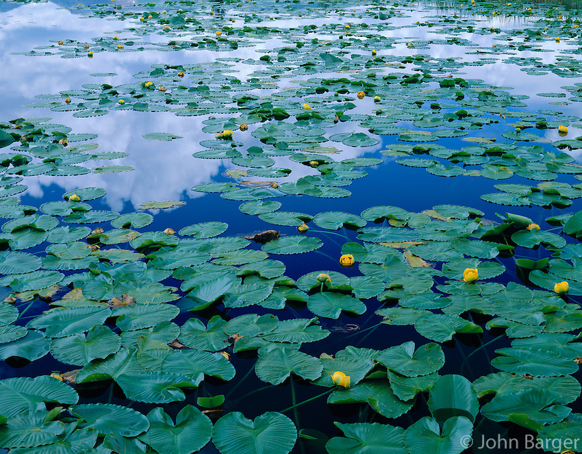 CORS 062 -   Yellow water lilies (Nuphar polysepalum) bloom in tundra pond at Molas Pass, San Juan National Forest, Colorado, USA --- (4x5 inch original, File size: 7694x6000, 132.1mb uncompressed).
