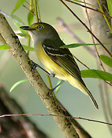 White-eyed vireo adult