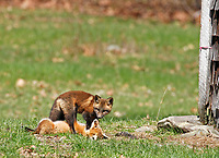 Playing fox pups