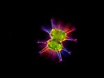 Desmid Staurastrum arctiscon. The cell is divided into two halves perfectly symmetrical, protected by an expansion of pectin and wrapped with a secretion of mucilage that helps maintain buoyancy.  LM X400.  Darkfield and polarized light.