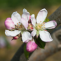 Blossom of Apple 'Melba', late April. A Canadian dessert apple raised in 1898 in Ottawa as a McIntosh cross.