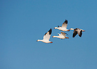 Snow Goose (Chen caerulescens), group in flight, Sinton, Corpus Christi, Coastal Bend, Texas, USA