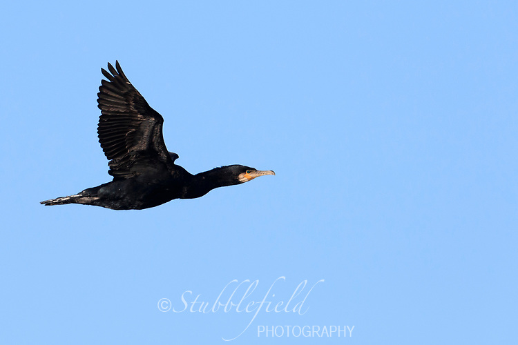Great Cormorant (Phalacrocorax carbo carbo), North Atlantic subspecies in flight over the Hudson River at Verplanck Point in Verplanck, New York.